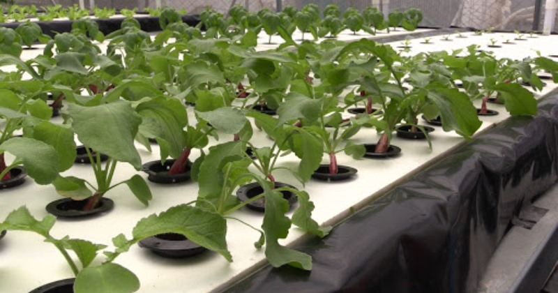 Hydroponic plant ideas